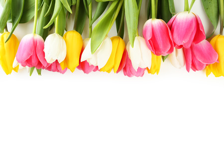 pink tulips: Tulips on white background