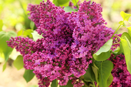 purple lilac: Purple lilac flowers, outdoors