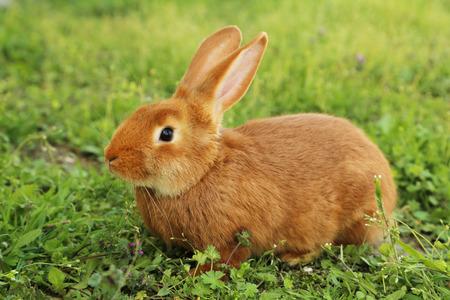 Jeune lapin rouge sur l'herbe