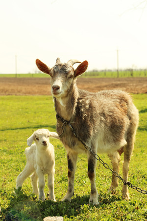 yeanling: Young goatling with mother outdoors