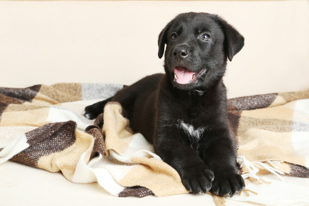 black eyes: Beautiful black labrador puppy on plaid