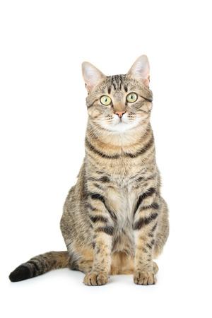Grey: Mèo xinh đẹp bị cô lập trên một màu trắng Kho ảnh