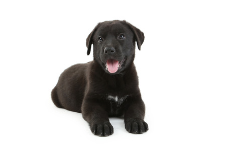 dog ears: Beautiful black labrador puppy isolated on a white