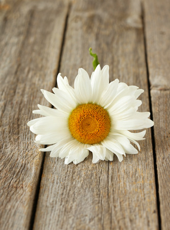 chamomile flower: Chamomile flower on a grey wooden background