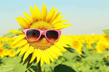a sunflower: Sunflower with sunglasses in the field
