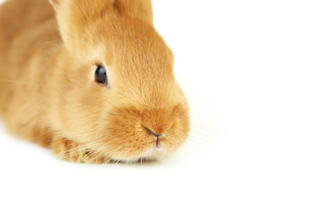 intrigued: Young red rabbit on white background Stock Photo
