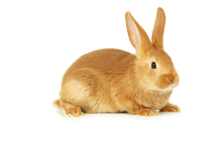 Young red rabbit isolated on white Stockfoto
