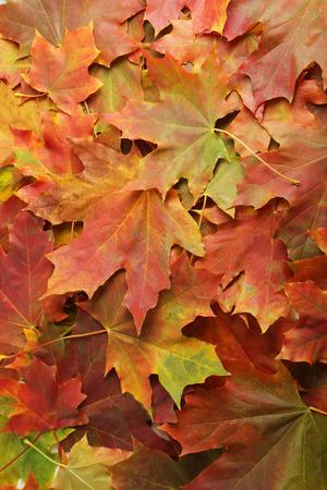 autumn leafs: Background of autumn leafs