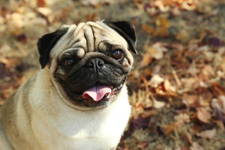 black pug: Funny pug dog in the autumn park, outdoor Stock Photo