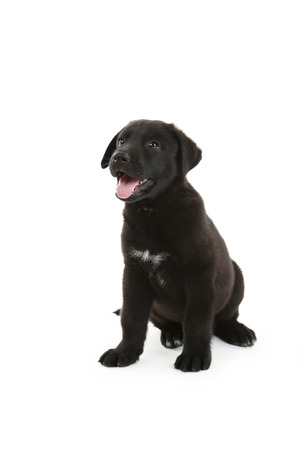 closeup puppy: Beautiful black labrador puppy sitting, isolated on a white Stock Photo