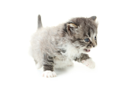 mewing: Small kitten isolated on white