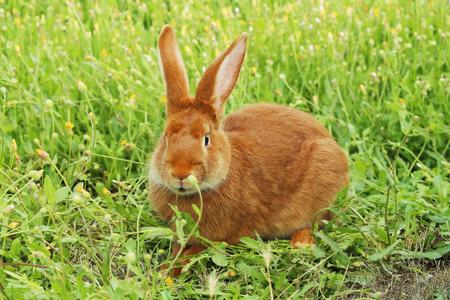 conejo: Hermoso conejo rojo sobre césped Foto de archivo