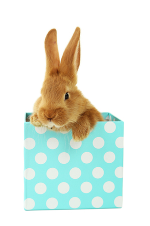 intrigued: Young red rabbit in gift box  isolated on white