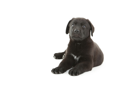 closeup puppy: Beautiful black labrador puppy isolated on a white