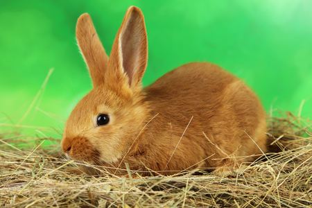 intrigued: Young red rabbit in hay on green background