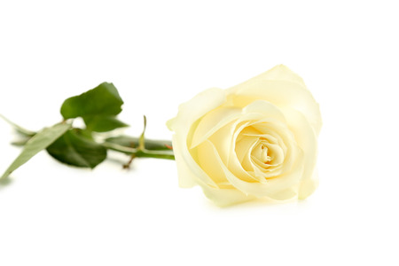 white rose: White rose isolated on a white Stock Photo