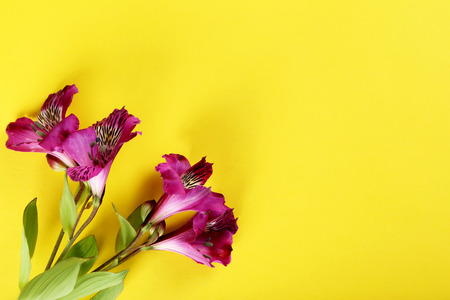 jonquil: Beautiful alstroemeria flowers on a yellow background