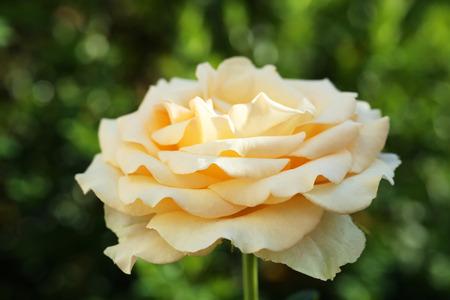 rosas naranjas: rosas anaranjadas hermosas en el jard�n