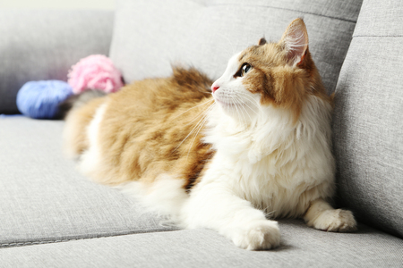 longhaired: Beautiful cat on a grey sofa, close up Stock Photo