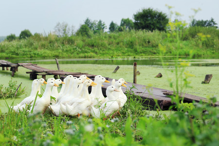 chasing tail: Yellow ducks running in the grass near the water