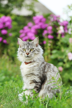 Maine coon cat sitting in the grass Stock Photo