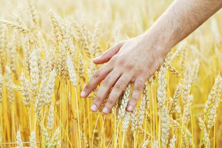 Male hand touching ripe golden wheat ears in the field