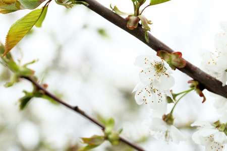 Blooming tree with the white flowers, outdoors