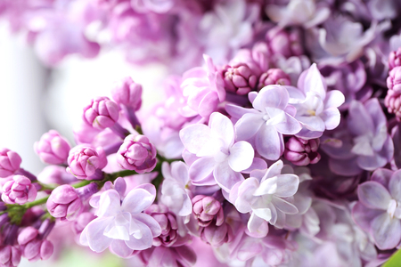 blooming purple: Blooming purple lilac flowers background, close up