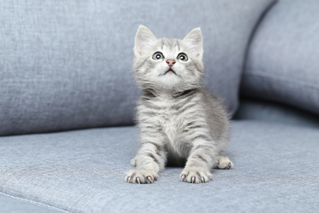 grey cat: Beautiful little cat on a grey sofa