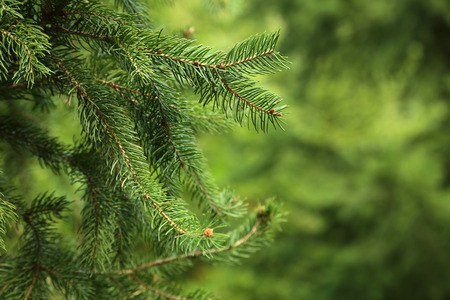 Green spruce branches on a tree