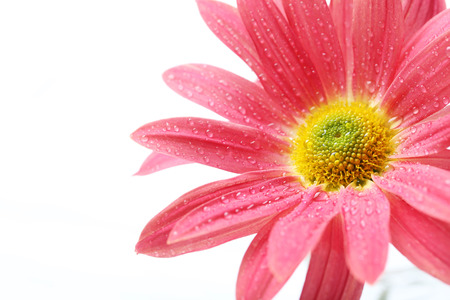 Chrysanthemum flowers on a white background