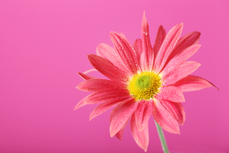 Chrysanthemum flower on a pink background