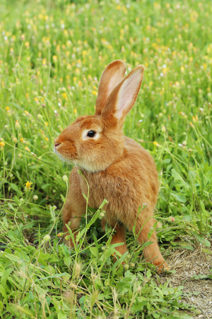 Beautiful red rabbit on grass Stock Photo