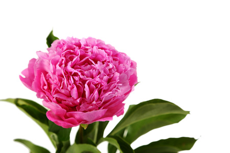 Pink peony flowers isolated on a white