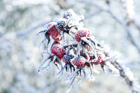 seasonally: Frozen red berries on the tree branch
