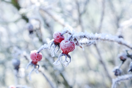 Frozen red berries on the tree branch