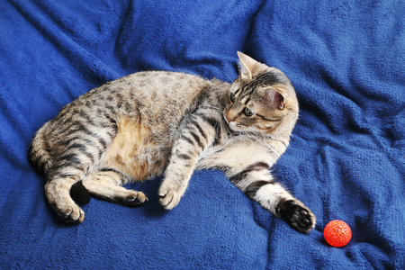 grey cat: Beautiful cat lying on the blue plaid