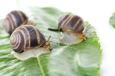 mucus: Brown snails on green leaf, close up