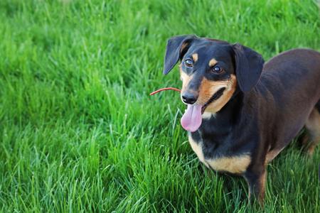 long nose: Black dachshund on green grass Stock Photo