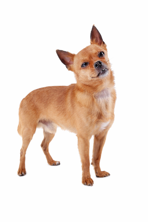 Funny dog isolated on a white background