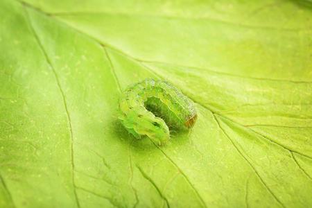 Green caterpillar on leaf
