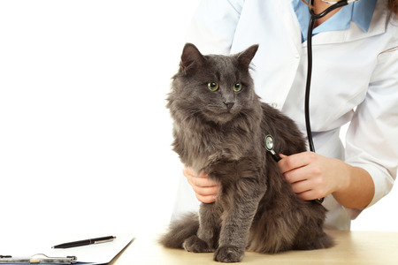 Veterinarian doctor with stethoscope and grey cat