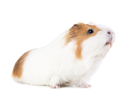 Guinea pig isolated on white background