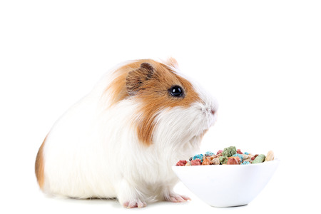 Guinea pig with food in bowl isolated on white background Standard-Bild