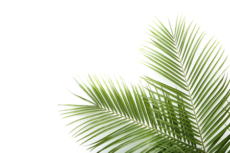 Green palm leafs on white background
