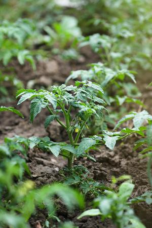 Green tomato plants in the garden