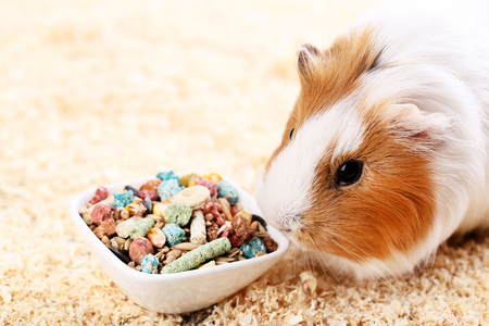 Guinea pig with food in bowl and sawdust