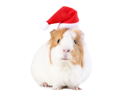 Guinea pig with santa hat isolated on white background