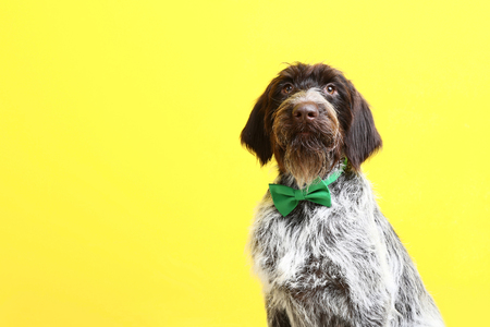 German pointer dog with bow tie on yellow background 免版税图像