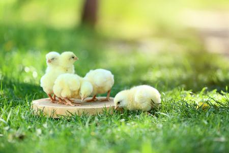 Little chicks eating feed on wooden board Standard-Bild - 112054478
